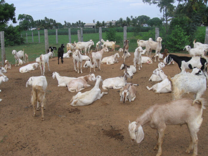 DBT-NIAB takes up project to help upscale goat production